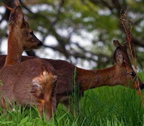 two roe deer on grass Aldourie Castle Estate grounds loch ness exclusive use