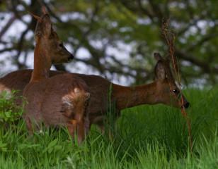 Roe Deer Aldourie Estate