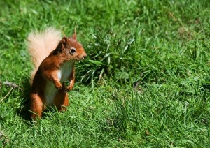 34.-Aldourie-Estate-Red-Squirrel beautiful holiday location