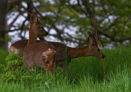 Aldourie Castle Estate roe deer - Explore the Highlands