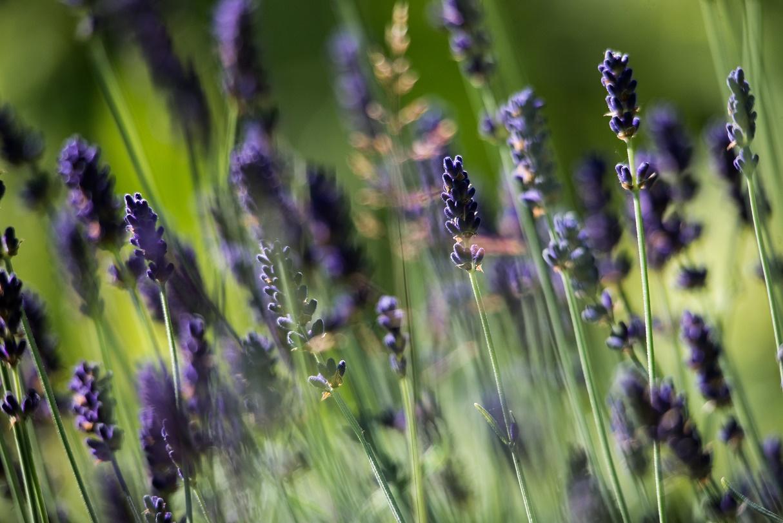 lavendar at aldourie