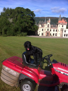 dog driving lawnmower